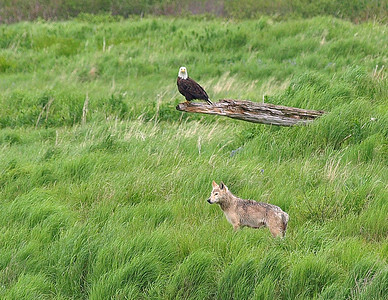 Bald eagle and young wolf.