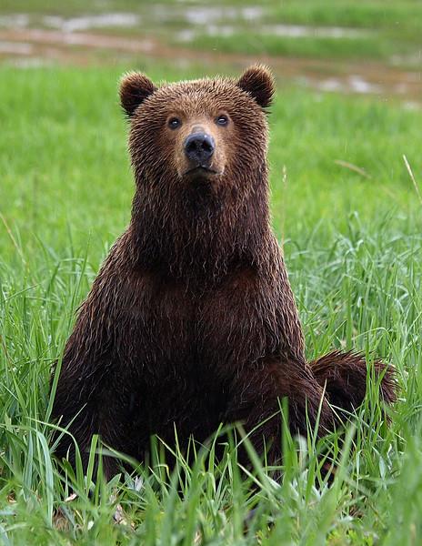 Sitting Alaska Brown Bear.