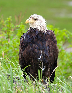 Soaking wet bald eagle.