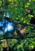 AK-1988-s099a hawk owl Kroto Lk