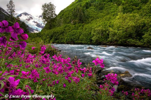 """River Beauty"" flowers along Byron Creek.<br /> August 02, 2010"