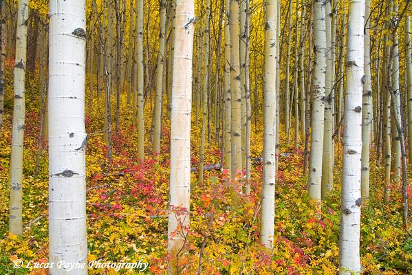 Autumn Aspen Trees along the Glenn Highway in Alaska.<br /> September 12, 2009