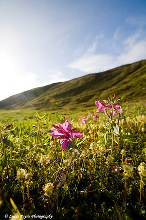 Dwarf Fireweed at Hatcher Pass.<br /> August 12, 2010