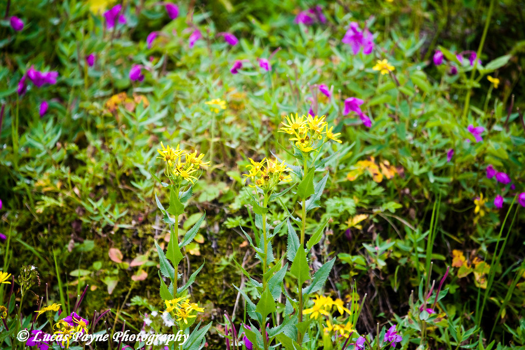 Flowers along the Hatcher Pass Road.<br /> August 12, 2010