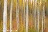 Slow vertical pan of Aspen Trees along the Glenn Highway in Alaska.<br /> September 12, 2009