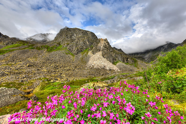 Dwarf Fireweed with the Talkeetna Mountains in Archangel Valley, Hatcher Pass, Southcentral Alaska<br /> <br /> August 10, 2012