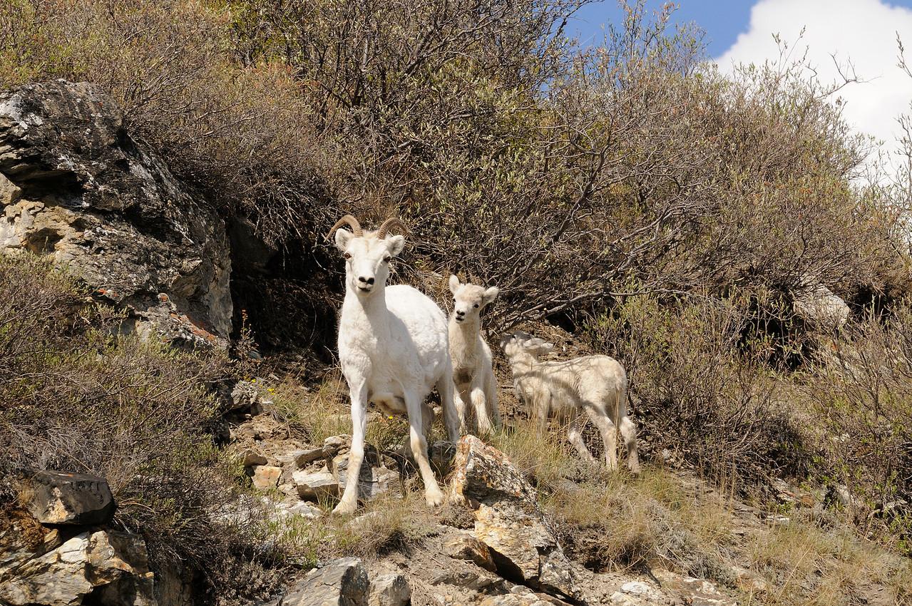 Dall's sheep ewe with 2 lambs.