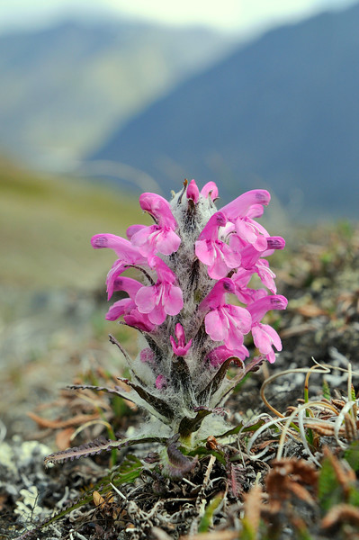 Wooley Lousewort.<br /> Pedicularis lanata
