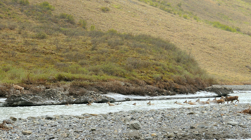 Caribou herd crossing the Kongakut River below the canyon.