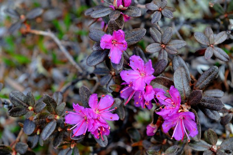 Lapland Rosebay.<br /> Rhododendron lapponicum