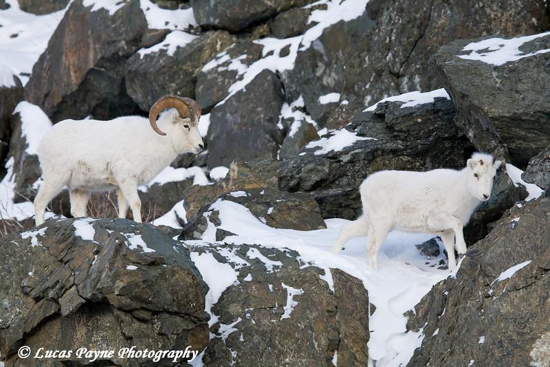 january 04  2008  dall sheep