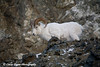 Dall Sheep Ram in the Chugach Mountains along the Seward Highway and Turnagain Arm in Alaska. <br /> January 04, 2008
