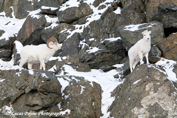 Dall Sheep Ram & Ewe standing on rocks in the Chugach Mountains along the Seward Highway and Turnagain Arm in Alaska. <br /> January 04, 2008