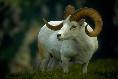Dall's sheep ram on Igloo Peak in the Alaska Range.