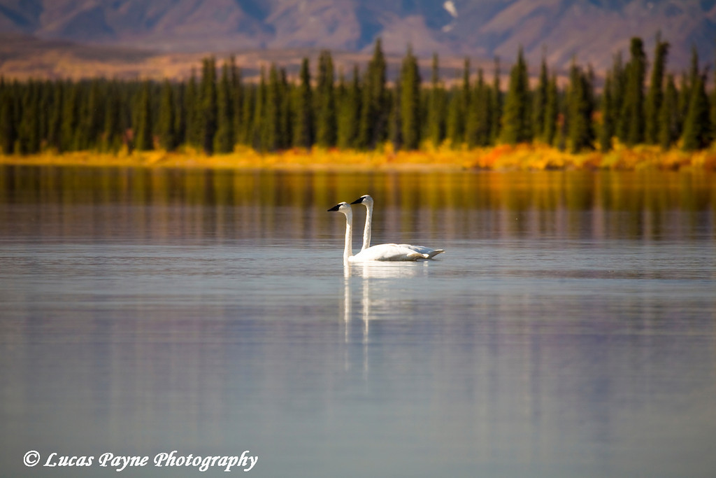 Trumpeter Swans.<br /> September 05, 2009