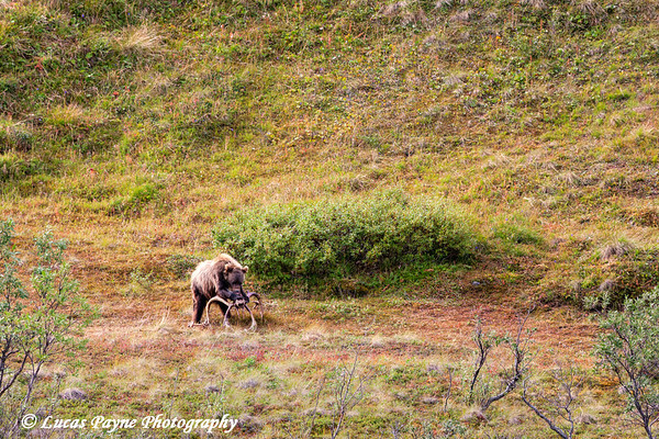 Grizzly bear chewing on Caribou Antlers in Denali National Park<br /> August 08, 2011