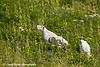Mountain goats grazing along the Harding Icefield Trail in Kenai Fjords National Park near Seward, Alaska.<br /> <br /> August 02, 2014