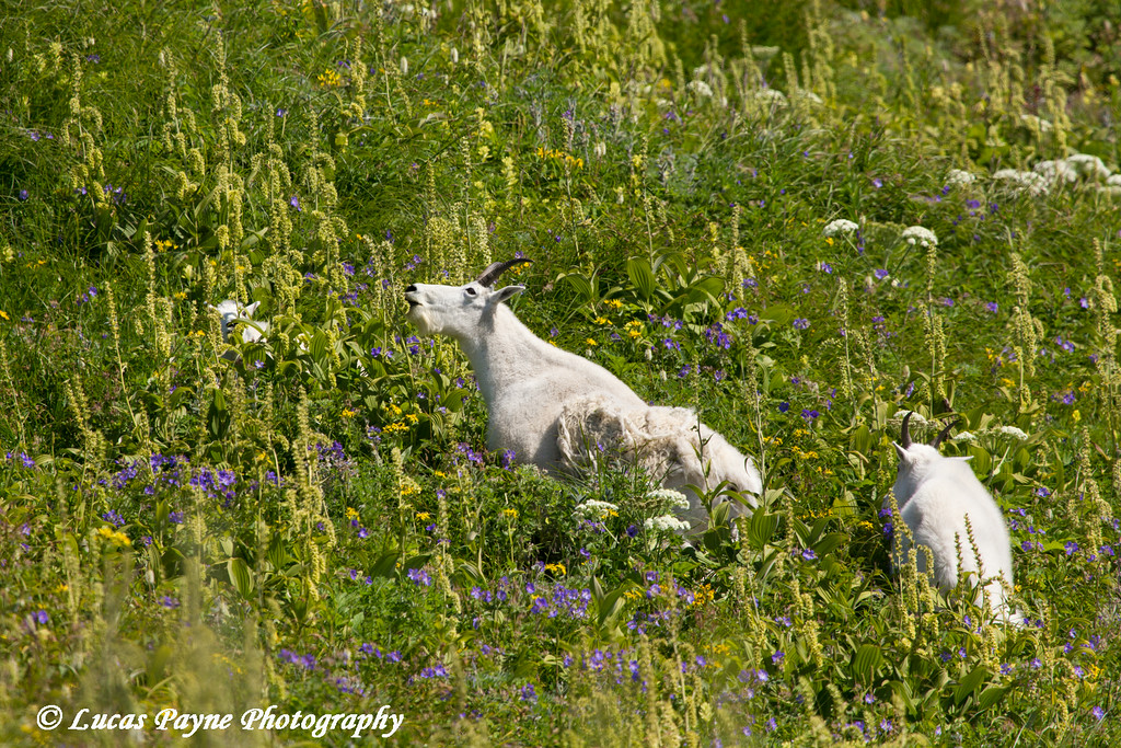 Mountain goats grazing along the Harding Icefield Trail in Kenai Fjords National Park near Seward, Alaska.<br /> <br /> August 02, 2014