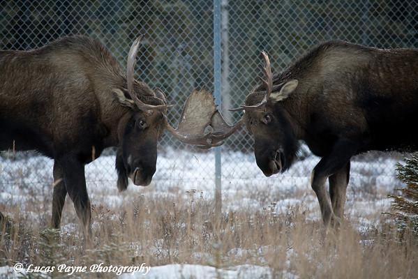 Bull Moose sparring near Ted Stevens International Airport in Anchorage, Alaska.<br /> November 14, 2008