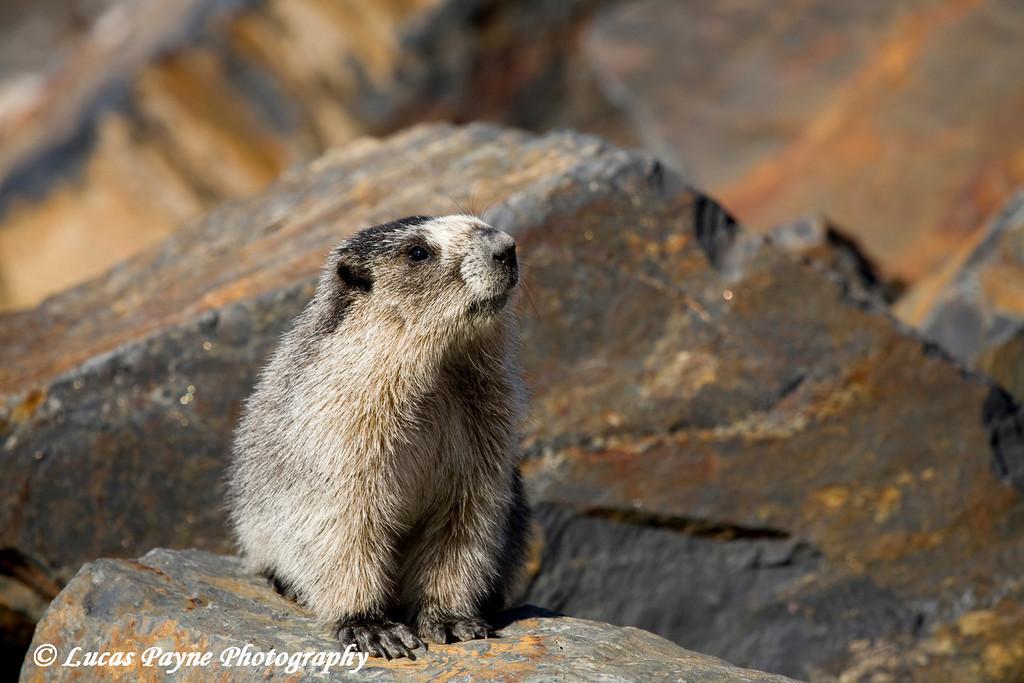 Marmot along Portage Lake.<br /> May 04, 2010