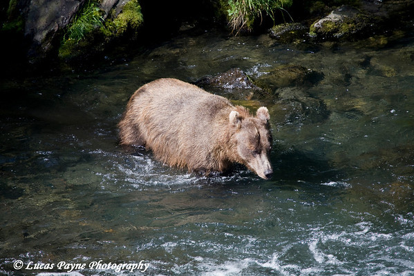 Brown Bear fishing at Russian River Falls on the Kenai Peninsula in Alaska.<br /> July 17, 2010