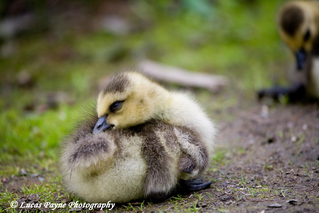 Canada Goose Gosling at Cheney Lake in Anchorage.<br /> June 11, 2010