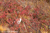 Ptarmigan and fall foliage in Denali National Park<br /> September 04, 2011