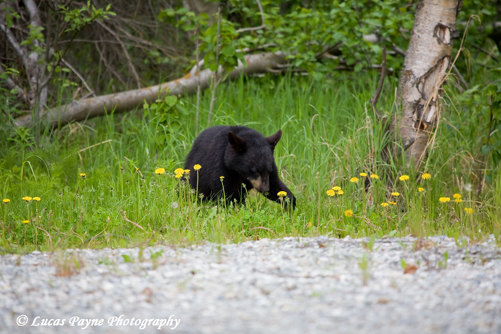 Black Bear Cub near Alaska Lighting and Supply in Anchorage, Alaska.<br /> June 5, 2009