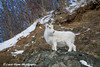 Dall Sheep Ewe in the Chugach Mountains along the Seward Highway and Turnagain Arm in Alaska. <br /> January 04, 2008