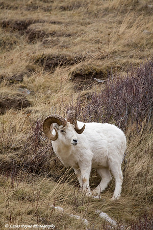 Dall Sheep along the Seward Highway and Turnagain Arm.<br /> December 05, 2009