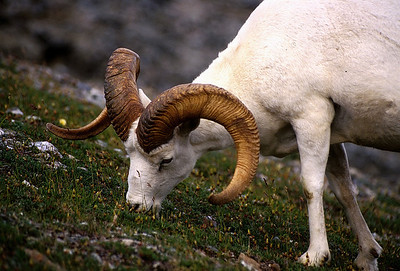 Dall's sheep ram on Igloo Peak in Denali National Park.
