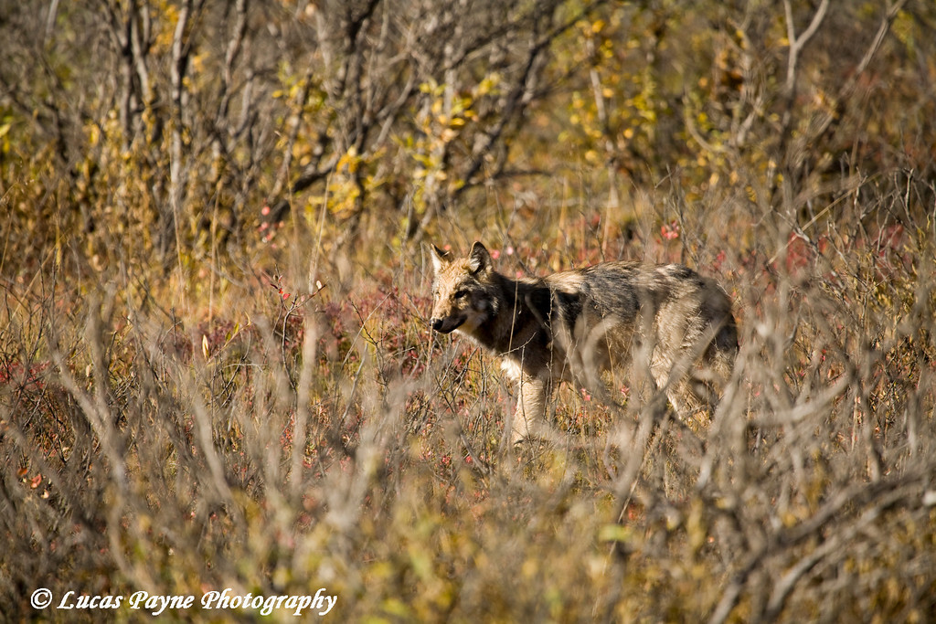 Wolf in Denali National Park.<br /> September 06, 2010