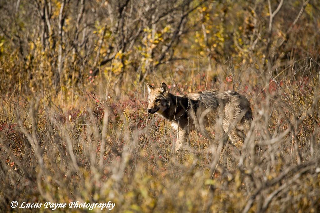 Wolf in Denali National Park.<br /> September 06, 2010