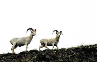 Young male Dall's sheep in the Chugach Mountains.