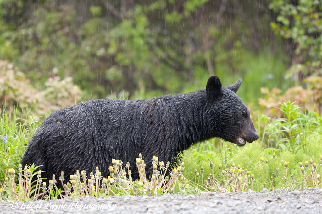 Black Bear in the rain along Arctic Valley Road near Anchorage, Alaska<br /> June 14, 2011