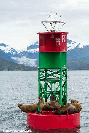 Steller Sea Lions resting on a channel marker in Lynn Canal, Southeast Alaska.<br /> <br /> July 03, 2014