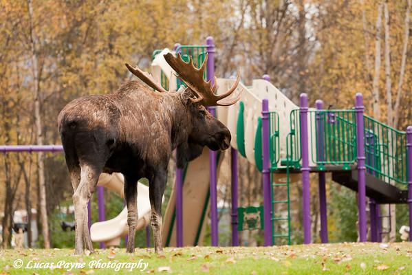Bull Moose at a park in Anchorage, Alaska.<br /> October 03, 2010