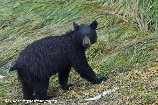 Black bear feeding on pink salmon along Dayville Road in Valdez, Southcentral Alaska.<br /> <br /> September 02, 2013
