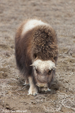 Muskox grazing on the tundra in the Prudhoe Bay Oilfield, North Slope, Arctic Alaska<br /> May 25, 2012