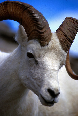 Dall's sheep ram on Primrose Ridge in Denali National Park.