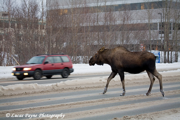 A moose crossing 36th Ave into traffic in Anchorage, Alaska.<br /> February 14, 2009