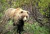 AK-1991-s116a Denali bear