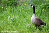 Canada Goose at Cheney Lake in Anchorage.<br /> June 11, 2010