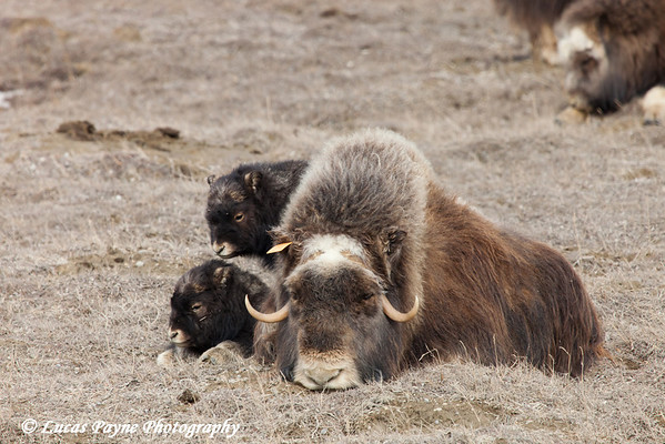 Muskox family laying on the tundra in the Prudhoe Bay Oilfield, North Slope, Arctic Alaska<br /> May 25, 2012