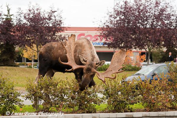 Bull Moose along Debarr Road in Anchorage, Alaska.<br /> October 03, 2010