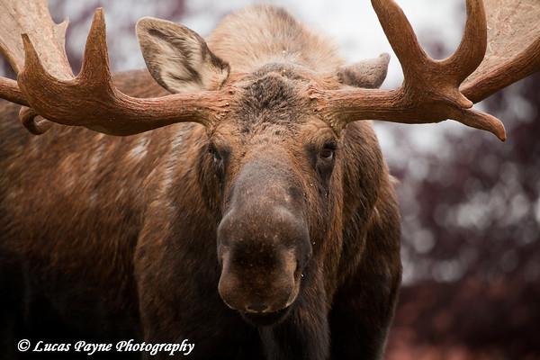 Bull Moose in Anchorage, Alaska.<br /> October 03, 2010