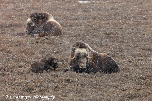 Adult Muskox and calf laying on the tundra with snow falling in the Prudhoe Bay Oil Field, North Slope, Arctic Alaska<br /> May 26, 2012