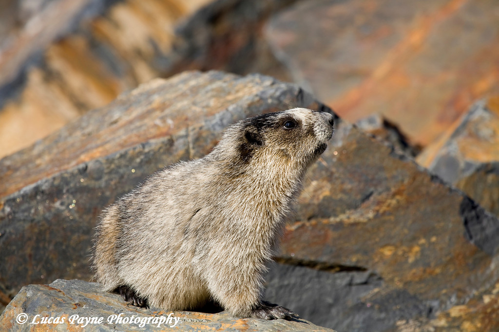 Marmot along Portage Lake.<br /> May 04, 2010