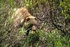 AK-1991-s114a Denali bear