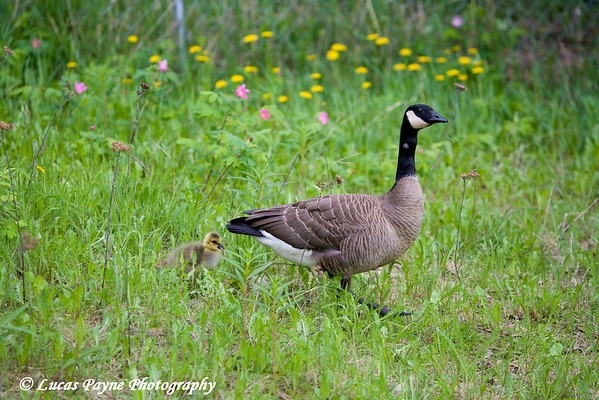 Canada Goose and Goslings at Cheney Lake in Anchorage.<br /> June 11, 2010